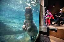 Tchéco řádí v čisté vodě, Pavilon hrochů v Zoo Praha byl otevřen po rekonstrukci.