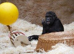 Gorilí samice Moja oslavilav pražské zoologické zahradě své čtvrté narozeniny.