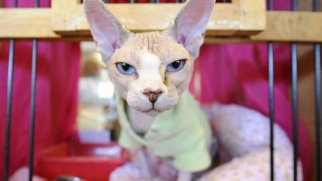 Mezinárodní výstava ušlechtilých koček se konala 16. října v Kongresovém centru v Praze. Na snímku je kocour Belfast Gold Sphynx.