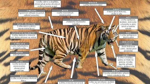Policie a celníci odhalili nelegální prodej tygrů kvůli čínské medicíně.