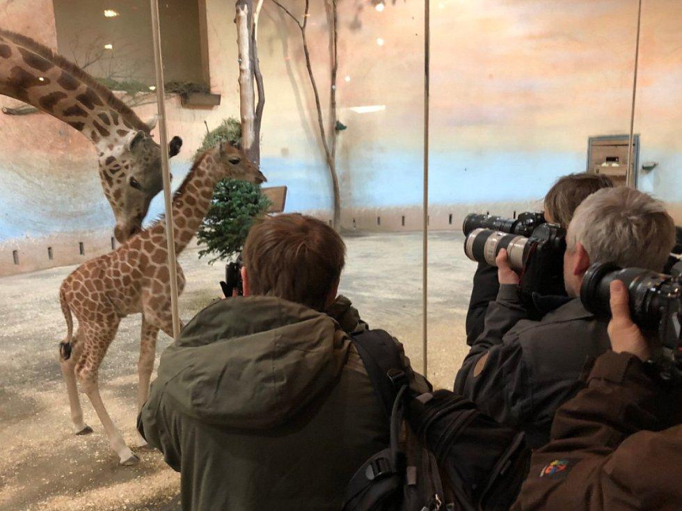 Žirafí samička narozená v pátek 25. ledna 2019 už skotačí se zbytkem stáda.