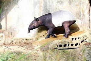 Hvězda Pražského deníku - tapír Punťa
