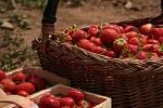 Samosběr jahod.