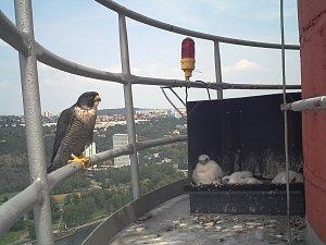 Sokoli na komíně v Holešovicích.