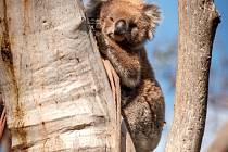 Zoo Praha vybrala přes milion korun pro pomoc Austrálii, kterou sužují požáry a mezi ohroženými zvířaty jsou koalové.