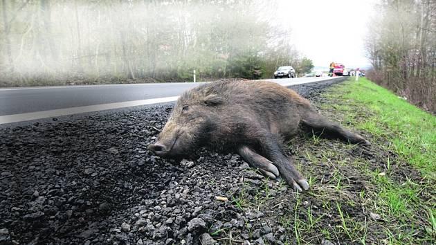 Sražený kanec u silnice. Ilustrační foto.