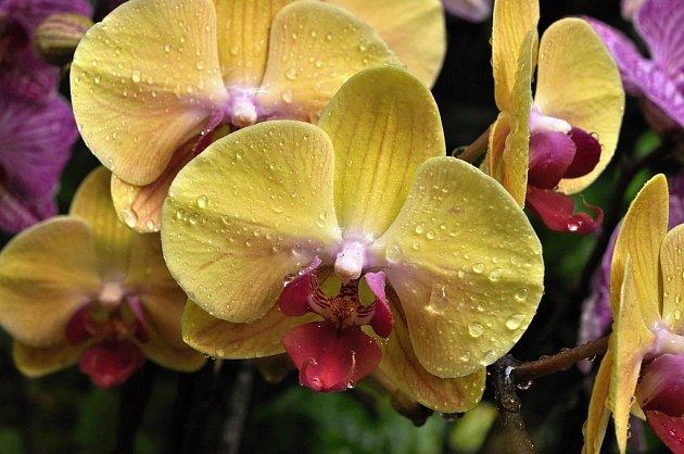 Z výstavy orchidejí v Botanické zahradě v Praze: Phalaenopsis 'Golden Beauty Mr Chen' je novinkou mezi žlutými odrůdami. Kombinace s červeným pyskem se obzvlášť povedla.