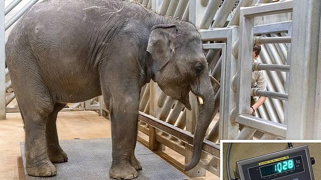 Obě slůňata ze Zoo Praha už váží přes tunu. Během posledního vážení ve středu ráno dosáhl mladší Rudi přesně 1028 kilogramů.