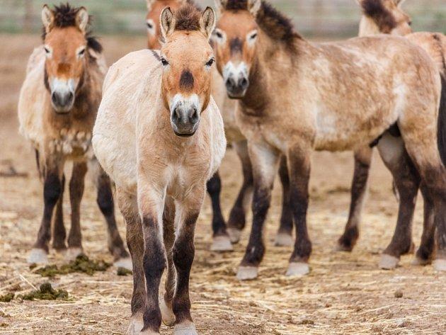 Koně Převalského vKaramaily vDžungarské pánvi.