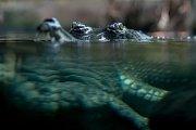 Tisíce lidí navštívili 6. července pražskou zoo. gaviál