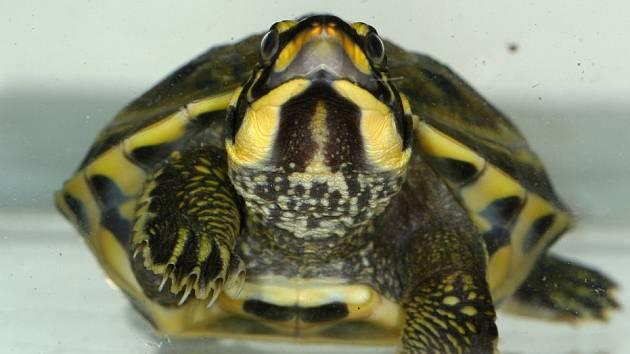 Pražští chovatelé dosáhli světového úspěchu: objevili způsob rozmnožování indické želvy korunkaté, který pro vědce doposud zůstával tajemstvím.