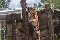 Samec velmi vzácného poddruhu tygra - tygra malajského - Johann při speciálním komentovaném krmení.