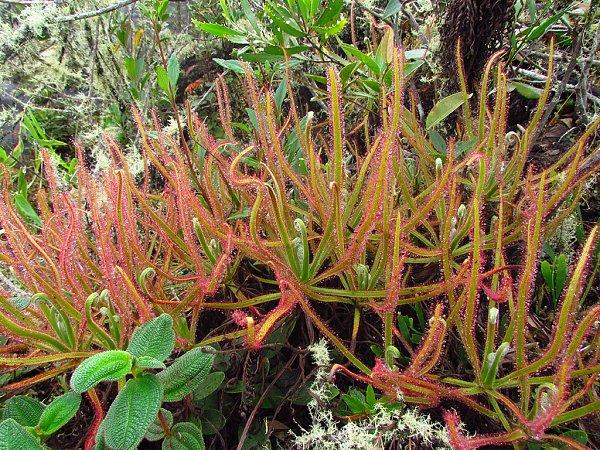 Obří masožravka Drosera magnifica zvrcholu brazilské hory Minas Gerais.
