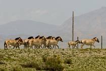 Stádo koní Převalského vyráží do volné přírody v přísně střežené oblasti Gobi B v Mongolsku.