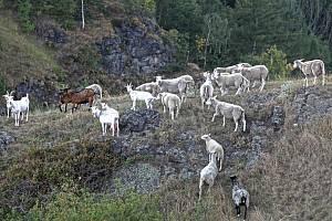 Řízená pastva ovcí a koz v Divoké Šárce.