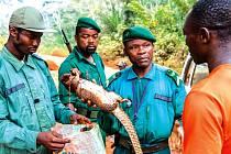 Strážci biosférické rezervace Dja zabavují uloveného luskouna.
