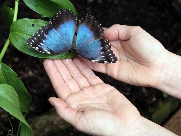 Z výstavy tropických motýlů v pražské botanické zahradě.