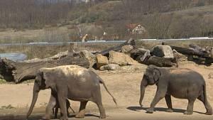 První krůčky slůněte z pražské zoo venku