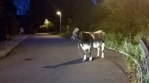 Krávu jménem Milka někdo přivázal na silnici ke svodidlu.