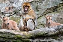 Paovce hřivnaté obývají přírodní skalnaté výběhy v jižní části areálu společně s makaky magoty.