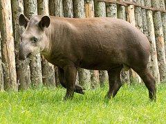 Roční tapír jihoamerický Toby už ztratil typické mláděcí proužky a vypadá téměř jako jeho rodiče v pražské zoologické zahradě.