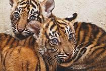Samičky tygra sumaterského Gasha a Gemma patří k velkým chovatelským úspěchům naší zoo.