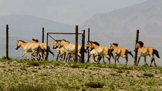 Stádo vedené Tananem, v němž jsou i tři klisny dovezené do Mongolska loni, vybíhá z aklimatizační ohrady. Asi nikoho, kdo v úterý odpoledne tento okamžik sledoval, nenapadlo, že ještě večer Tanan o svůj harém přijde.