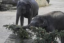 Sloni v pražské zoo si 13. ledna 2020 pochutnávali ve výběhu na větvích z vánočního stromu, který během uplynulých svátků zdobil Staroměstské náměstí.