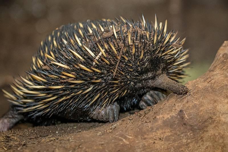 Ježura australská je skutečně podivuhodný savec. Líhne se z vejce, na břiše se jí vytváří dočasný vak, bodlinami připomíná ježka, čichem a způsobem obživy mravenečníka a dovede vnímat elektrické pole.