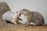 Novou expozici pro psouny prériové obývá celkem 14 jedinců; sedm samiček a sedm samců.