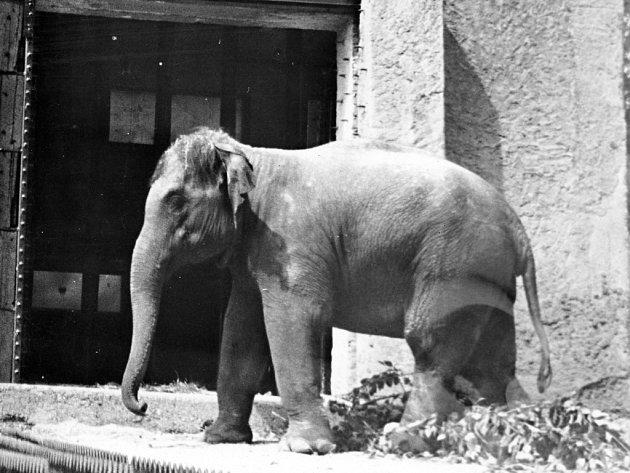 Neděle 5.června 1966byla prvním dnem slonice Gulab vZoo Praha.