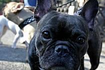 CO S NÍM? Výraz francouzského buldočka naznačuje, že se psím hotelem bude letos problém.