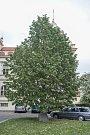 Stromy republiky - Krupkovo náměstí.