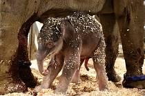 V Praze se narodilo slůně, první počaté v trojské zoologické zahradě.