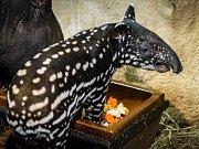 Časem začne mládě tapíra čabrakového měnit svou barvu.