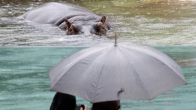 Výběh hrochů v pražské zoo.