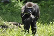 Ochrana goril nížinných ve střední Africe je jedním ze stěžejních in-situ projektů Zoo Praha. Nově i na tento projekt poputují tři koruny ze vstupného namísto dvou.