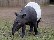 Samec tapíra čabrakového Punťa.