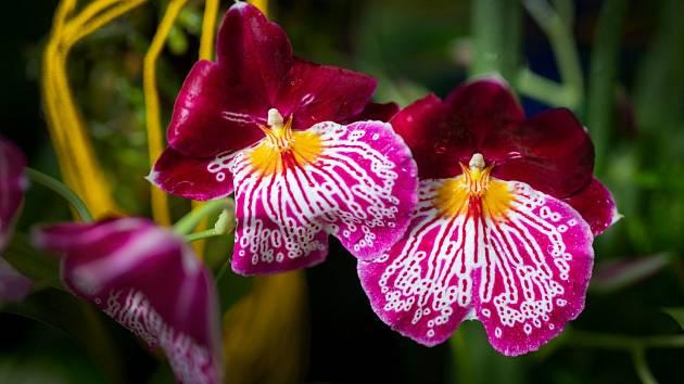 V botanické zahradě začíná výstava orchidejí z Ekvádoru.
