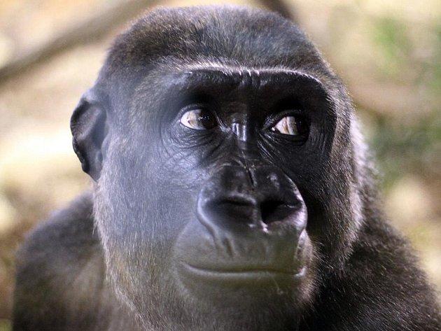 Moja, první odchovaná gorila nížinná v Česku, v novém domově v přírodním parku Cabárceno v severním Španělsku.