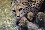 Gepardice Savannah je matkou paterčat.