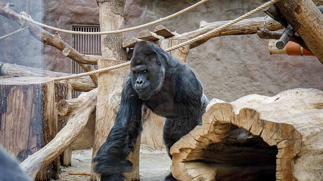 """Samec gorily nížinné Richard jde na """"snídani"""" ve svém pavilonu v Zoo Praha."""