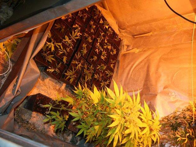 """Na místě pak kriminalisté napočítali stovku rostlin marihuany v různém stádiu vývoje – některé """"kytky"""" byly vysoké i půl druhého metru."""