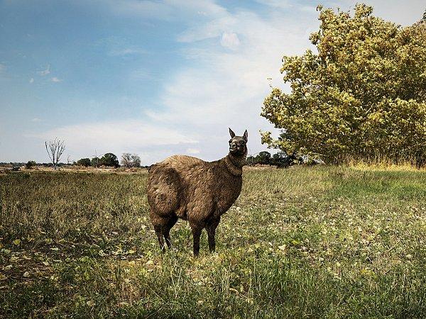 Obézní lama alpaka ze série fotografa Derecka Harda 'we are FAT animals'.