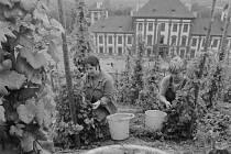 Vinobraní – Trojský zámek dodnes pokračuje ve svém vinařském dědictví a každý rok pořádá Trojské vinobraní. V 80. letech minulého století se o sklizeň hroznů starali především brigádníci.