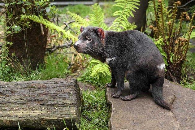Pražská zoo staví novou expozici australské fauny. Domov zde najdou hlavně ďábly medvědovití, tedy tasmánští čerti.