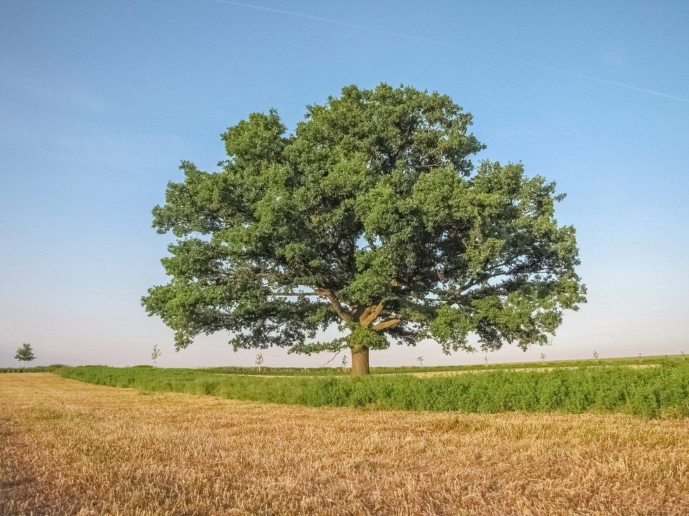 Památný dub na jižním okraji Prahy