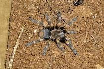 Do trojského útulku pro opuštěná zvířata putovala v pondělí dopoledne dvojice exotických pavouků