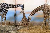 Dvě žirafí mláďata – starší samička a mladší sameček – se postupně seznamují mezi sebou i se zbytkem skupiny.