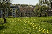 Narcisy tvoří cestičky po Vítkově, Karlíně i na Štvanici